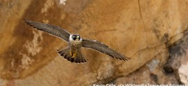 Are the peregrine falcons really threatened by rain?
